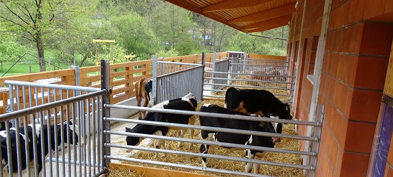 Kälber Einzug in neuen Schweine und Kälberstall